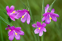 Close up of Grass Widow flowers (Sisyrinchium douglasii). Near Catherine Creek. Columbia River Gorge National Scenic Area, Washington