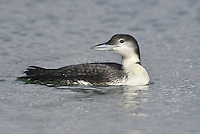 Great Northern Diver Gavia immer L 75-85cm. Buoyant waterbird. Large bill is held level or very slightly elevated. Sexes are similar. Adult in summer has black neck with two rows of white stripes. Upperparts are blackish with white patches on mantle and spots elsewhere. Underparts are gleaming white. Bill is dark. In winter, has dark grey upperparts and whitish underparts with dark half collar on neck. Bill is greyish. Juvenile is similar to winter adult but slightly grubby-looking. Voice Silent in our region. Status Non-breeding visitor to coastal seas, favouring both rocky shores and large bay; occasional on inland reservoirs.