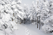 Snow covered softwood forest along the Mount Osceola Trail on the summit of Mount Osceola in the White Mountains, New Hampshire USA during the winter months.