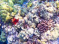 Coral and red pencil urchins at Ho'okena Beach Park, Big Island.