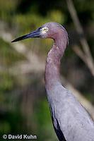 0203-08uu  Little Blue Heron,  Egretta caerulea © David Kuhn/Dwight Kuhn Photography