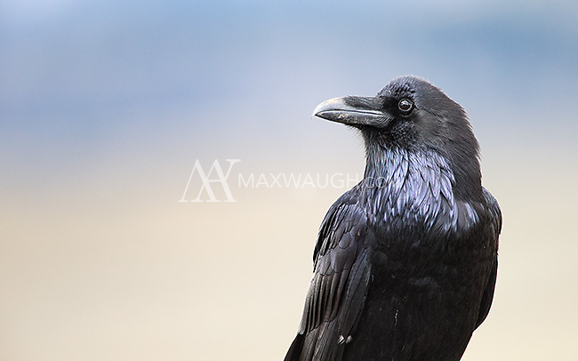 It's often difficult to capture the iridescence in a raven's feathers.