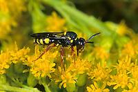 Heide-Wespenbiene, Kuckucksbiene, Wespen-Biene, Rotbeinige Wespenbiene, Kuckucks-Biene, Nomada rufipes, cuckoo bee, cuckoo-bee, Wespenbienen, Kuckucksbienen, cuckoo bees, cuckoo-bees