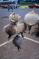 Balloon porcupinefish, Diodon holocanthus, Botanical Gardens, Pampelmousses, Mascarene Islands, Mauritius, Indian Ocean