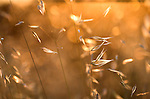Backlight Grasses against setting sun, soft golden light, colours, glistening.France....