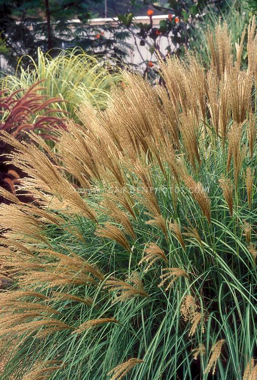 Miscanthus sinensis 'Adagio' ornamental grass