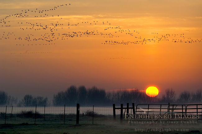Flock of birds fly at sunrise over farm, Merced County, Central Valley, California