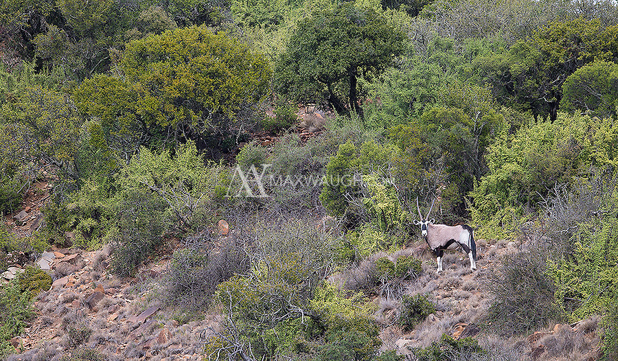 Gemsbok are often found in more arid regions of southern Africa.  It was odd seeing this one perched on a green mountainside.