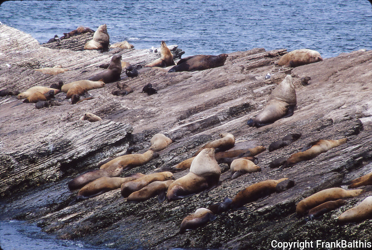 Steller sea lions with pups on Ano Nuevo Island