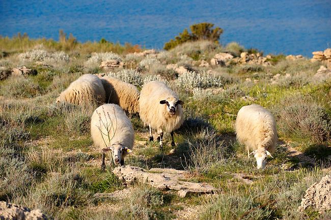 Sheep on Pag  island,  Croatia