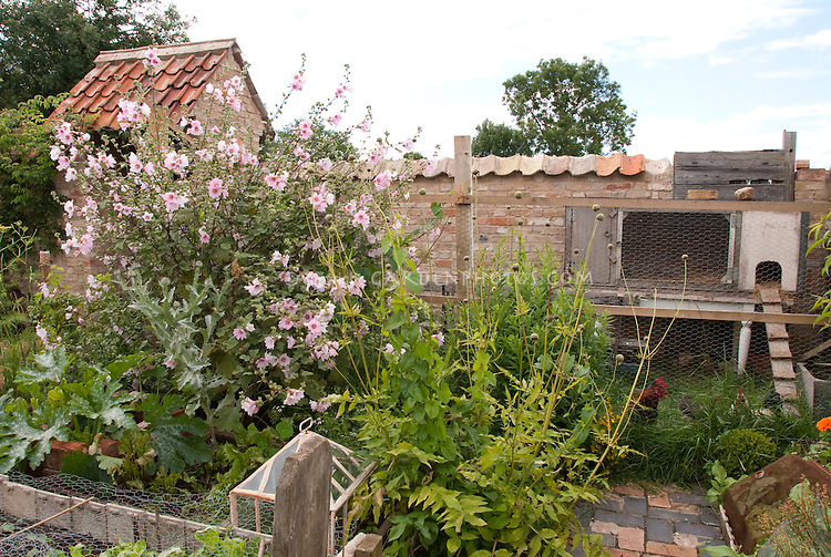 Chicken coop in backyard with free range roosters in garden and pathway, Alcea hollyhocks