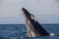 Breeching Humpback Whale