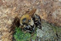 Felsheiden-Mauerbiene, Osmia inermis, Mason bee, Mauerbienen, Mason bees