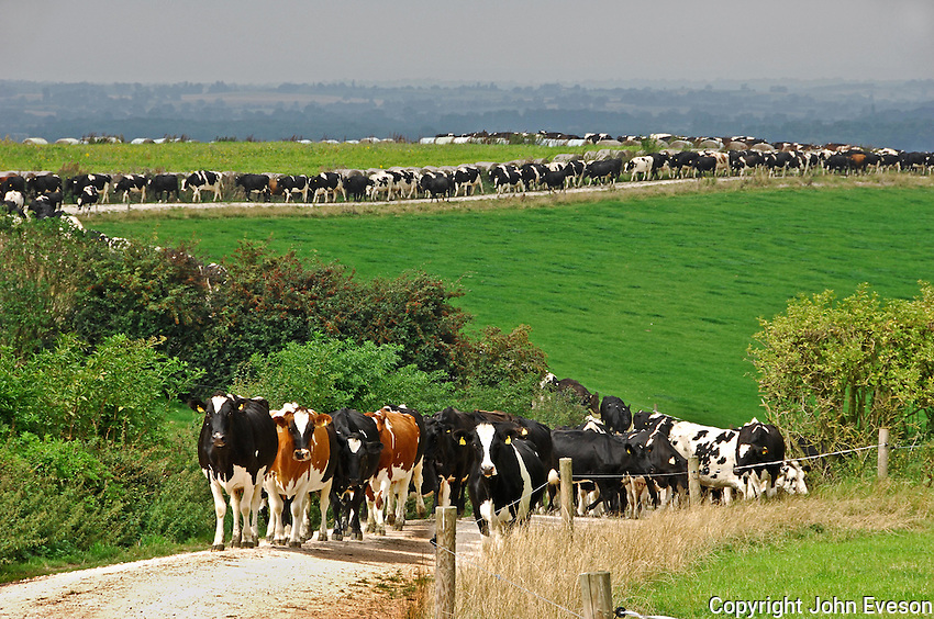 Dairy cows coming in for milking, Tutbury, Staffordshire.
