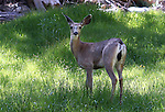 A deer eats in a meadow in the Sierra National Forest, near Oakhurst, Ca., on July 12, 2011..Photo by Cathleen Allison