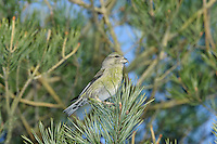 Common Crossbill Loxia curvirostra L 15-17cm. Extraordinary finch with crossed-tipped mandibles - used to extract seeds from conifer cones. Sexes are dissimilar. Adult male is mainly red but with brownish wings. Adult female is mainly greenish but with brownish wings. Immature birds are similar to adults of respective sexes but with duller colours. Juvenile is grey-brown and heavily streaked. Voice Utters a sharp kip-kip-kip flight call. Status Associated with mature conifer woodland (mainly Larch and spruces). Nomadic outside breeding season (in search of cone-bearing trees).