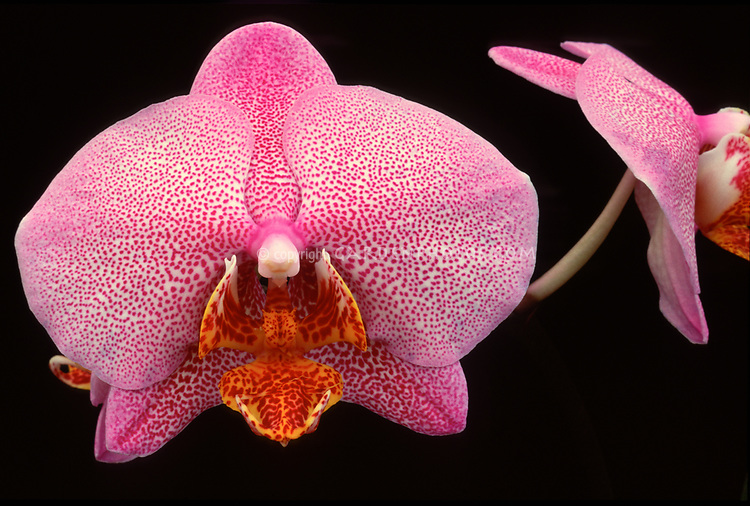Phalaenopsis Miva Smartissimo orchid hybrid of Entrechat x Elise de Valec, 1988, pink and red spotted moth orchid with orange yellow spot lip