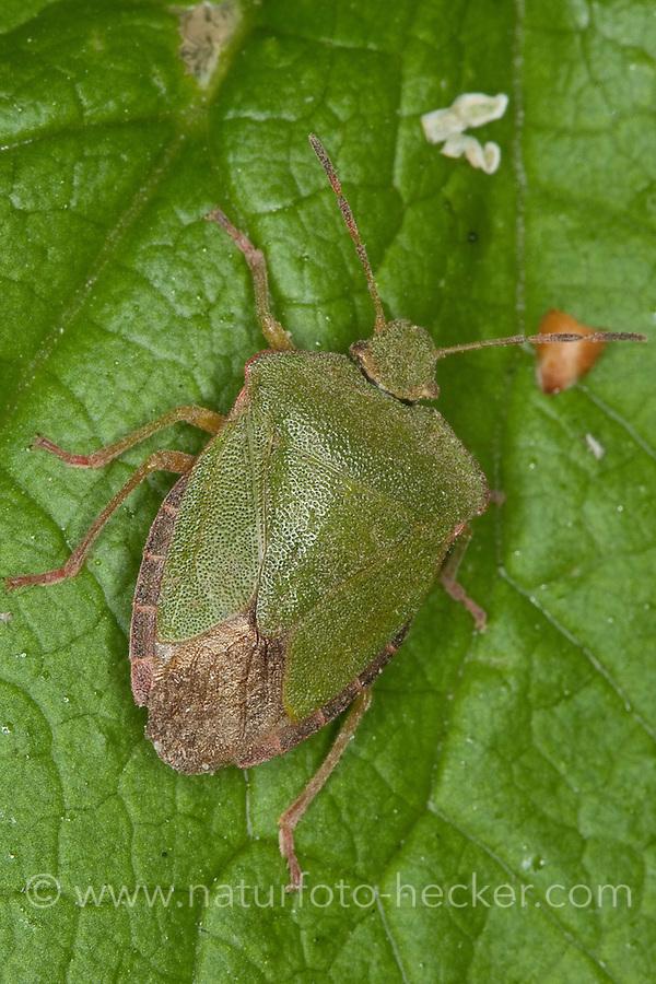 Grüne Stinkwanze, Palomena prasina, common green shield bug