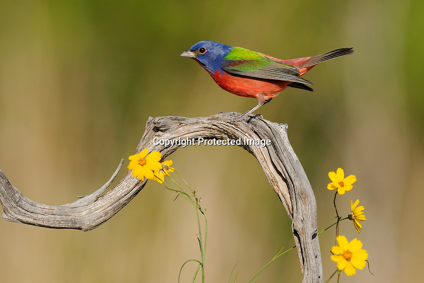 painted bunting male perched on dead cedar