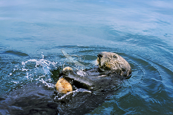 Sea otter breaking (opening) clam on rock to eat.  Illustrates use of tool.