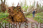 JP Fletton with a massive tree felled by the storm in Collis Sands wood  in Tralee.