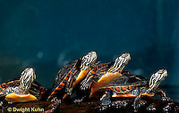 1R13-099z  Painted Turtle - young in pond sunning themselves  - Chrysemys picta