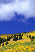 Yellow aspen tree forest in the Rocky Mountains Colorado