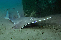 White-spotted Shovelnose Ray, Rhynchobatus djiddensis, HMAS Brisbane Artificial Reef, Mooloolaba, Queensland, Australia, South Pacific Ocean