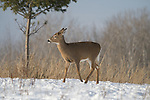White-tailed deer in the snow