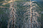 A burn forest stands testament to the 1994 Cole Fire in the El Dorado National Forest, California.