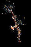 Ornate Ghost Pipefish, Solenostomus paradoxus, Tulamben, Bali, Indonesia, Pacific Ocean