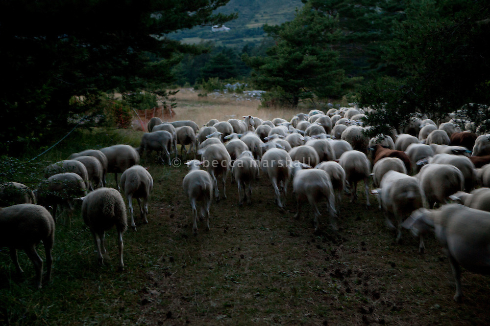 As the sun sets, Isabelle Feynerol's flock of sheep arrive back down in the valley close the hamlet of Canaux in the Alpes Maritimes above Grasse, France, 02 August 2013. They are kept overnight in a barn where they will be safe from wolf attacks.