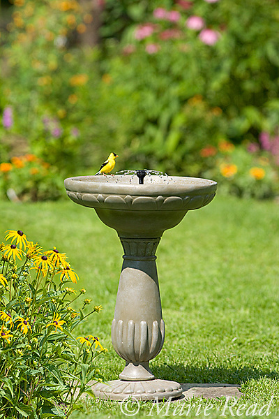 American Goldfinch (Carduelis tristis) drinking from Duncraft Solar Birdbath, with its solar-powered fountain, in summer, New York, USA<br /> (Digital composite - foreground flowers added)