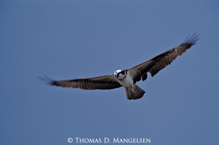 Osprey in flight.