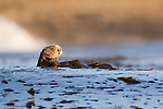Sea Otter (Enhydra lutris) female wrapped in kelp to keep itself from floating away, Santa Cruz, Monterey Bay, California