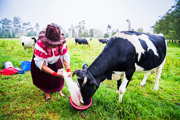 Cayambe lady from Ecuador feeding her cow at Zuleta Farm, Imbabura, Ecuador, South America