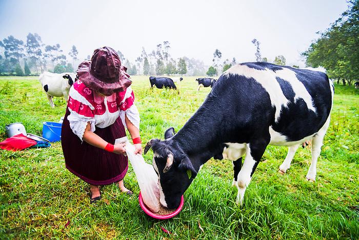 Cayambe lady from Ecuador feeding her cow at Zuleta Farm, Imbabura, Ecuador, South America
