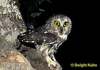 OW02-301z  Saw-whet owl - at nest cavity - Aegolius acadicus