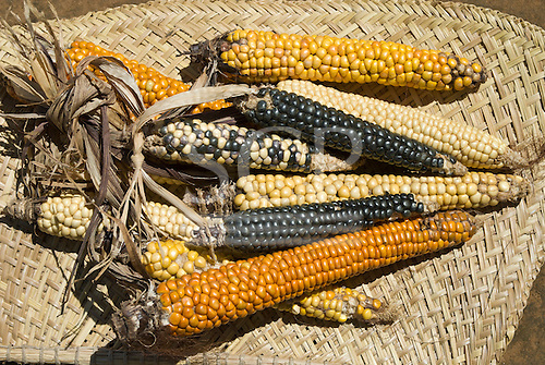Xingu Indigenous Park, Mato Grosso State, Brazil. Aldeia Tuirarare (Kaiabi). Native maize in all colours.