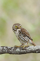 Ferruginous Pygmy-Owl, Glaucidium brasilianum, adult with lizard prey, Willacy County, Rio Grande Valley, Texas, USA, June 2006