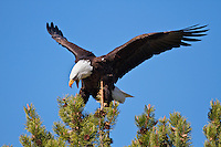 Bald Eagle, Grand Teton National Park, Wyoming