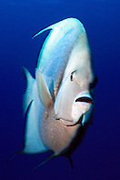 gray angelfish, .Pomacanthus arcuatus, .Paso del Cedral, .Cozumel, Mexico (Caribbean).
