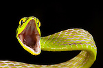 Satiny Parrot Snake (Leptophis depressirostris), Costa Rica.