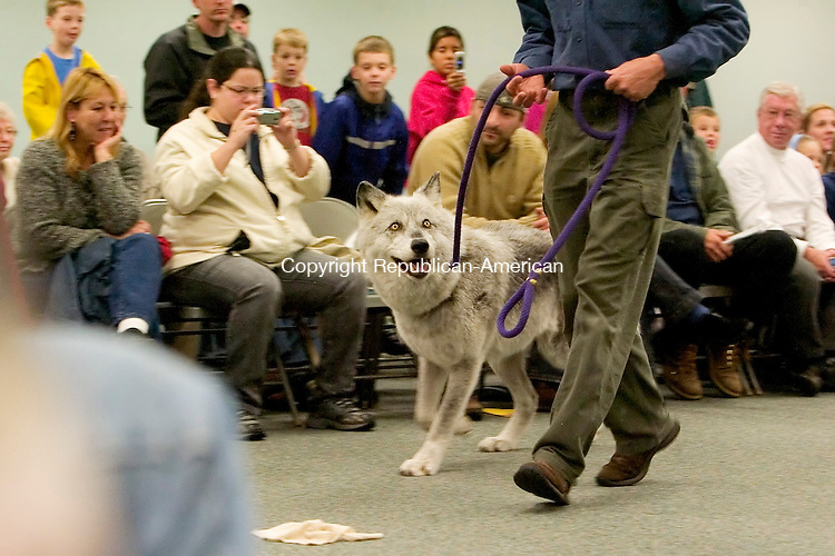 SOUTHINGTON, CT- 25 OCTOBER 2008 --102808JS12--Kent Weber of Mission:Wolf Ambassador Wolf Program of Colorado, walks Magpie, a female Gray Wolf, around the room during a show Tuesday at Brairwood College in Southington. <br /> Jim Shannon / Republican-American