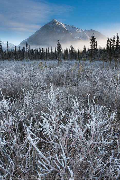 Frosted bushes on the tundra with Mt. Dillon of the Brooks Range in the distance.