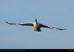 Snow Goose, Morning Flight, Bosque del Apache Wildlife Refuge, New Mexico