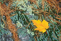 Red maple leaf  (Acer rubrum), white pine (Pinus strobi) needles and lichens on rock, Sioux Narrows Provincial Park, Ontario, Canada