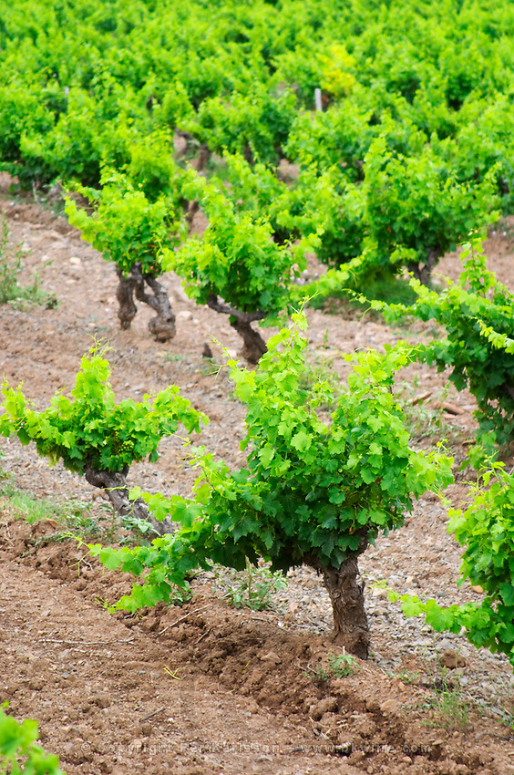 Vines. Mas Amiel, Maury, Roussillon, France