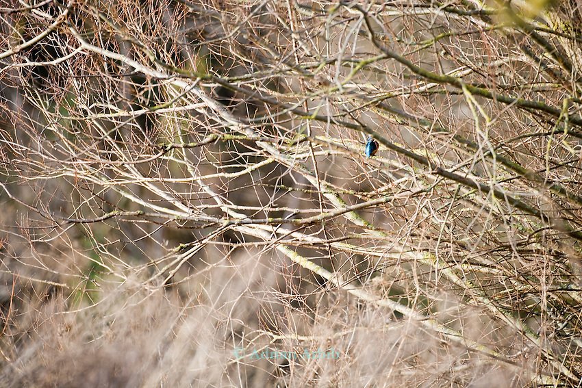 Kingfisher on  Thrupp lake, part of the Radley lakes and  the one threatened to be filled up with fly ash from Didcot power station run by RWE N power