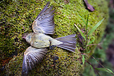 USA, California, Mill Valley, a beautiful dead bird lays atop a patch of green moss